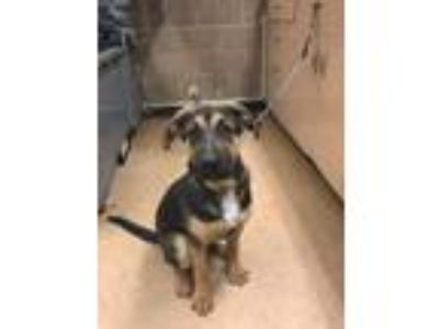 Adopt Rex a Shepherd, Mixed Breed