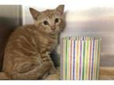 Adopt Rudolph a Orange or Red Domestic Shorthair / Domestic Shorthair / Mixed
