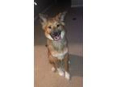 Adopt Reese a Tan/Yellow/Fawn - with White German Shepherd Dog / Collie dog in
