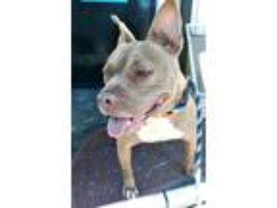 Adopt Princess a American Staffordshire Terrier / Mixed dog in Cleveland