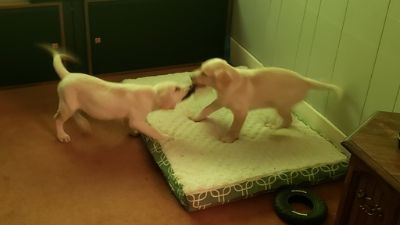 Labrador Retriever PUPPY FOR SALE ADN-108098 - Two Purebred American Yellow Lab Puppies
