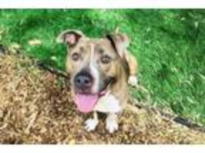 Adopt JAY a Brown/Chocolate Pit Bull Terrier / Mixed dog in Fremont