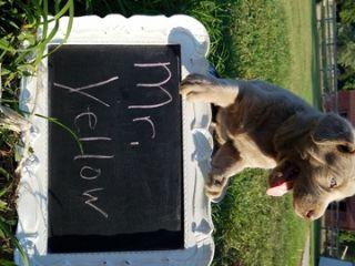 Labrador Retriever PUPPY FOR SALE ADN-88262 - AKC Silver Labs