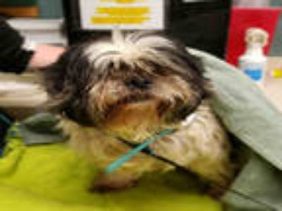 Adopt OREO a Black - with White Shih Tzu / Mixed dog in Rockford, IL (25310548)