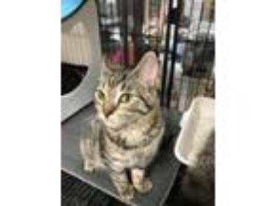 Adopt Momma a Brown Tabby Domestic Shorthair (short coat) cat in Monroe