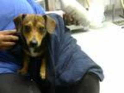 Adopt MEANIE a Brown/Chocolate Jack Russell Terrier / Mixed dog in Fayetteville