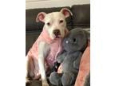 Adopt Moon (Izzy's Rescue) a White Pit Bull Terrier / Mixed dog in Rosemont