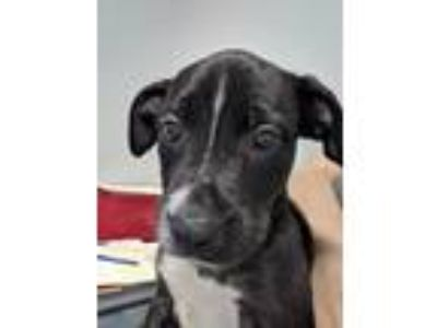 Adopt Pheobe a Pit Bull Terrier / Mixed dog in Angola, IN (25359507)