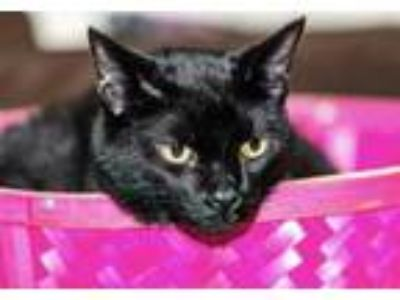 Adopt Denton a All Black Domestic Shorthair / Domestic Shorthair / Mixed cat in