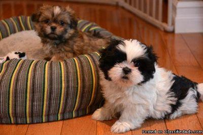 2 Shih Tzu Puppies For Adoption