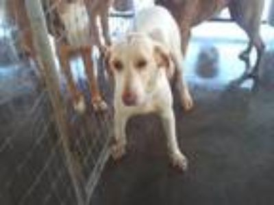 Adopt Victoria a White - with Tan, Yellow or Fawn Hound (Unknown Type) / Mixed