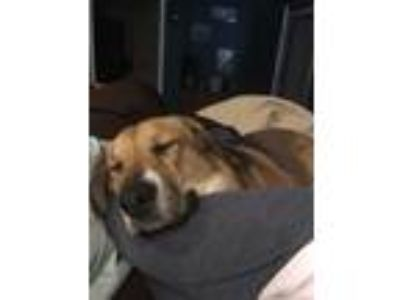 Adopt Anouk a Tan/Yellow/Fawn - with White Husky / Great Pyrenees / Mixed dog in