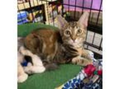 Adopt Skittles a Brown Tabby Domestic Shorthair (short coat) cat in Barrington