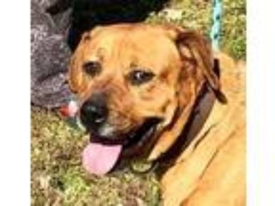 Adopt Angel a Golden Retriever, Rottweiler