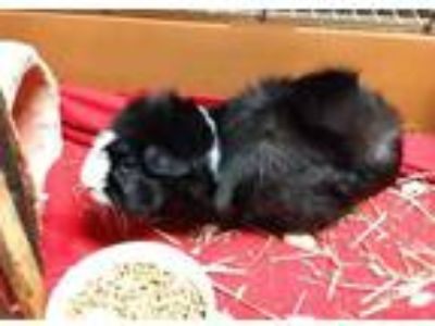 Adopt BELLE a Black Guinea Pig / Mixed small animal in Chapel Hill