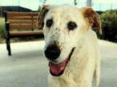Adopt CAPI a Labrador Retriever, Pointer