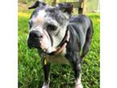Adopt Available LULU a Black Boston Terrier / Mixed dog in Greensboro