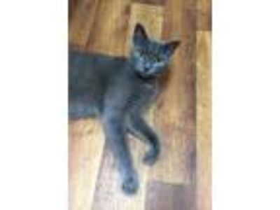 Adopt Smokey a Gray or Blue Russian Blue / Mixed cat in Youngsville