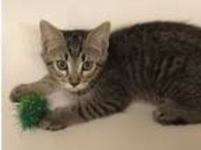 Adopt Perry Winkle a Brown Tabby American Shorthair / Mixed (short coat) cat in