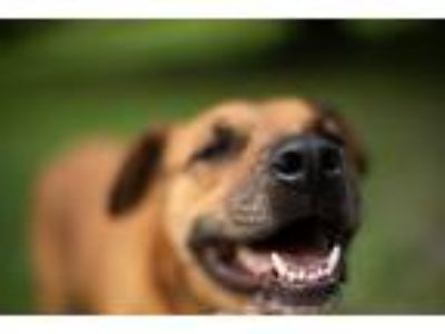 Adopt Hooch a Tan/Yellow/Fawn Boxer / American Pit Bull Terrier / Mixed dog in