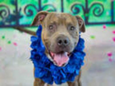 Adopt a Black American Pit Bull Terrier / Mixed dog in Fort Lauderdale