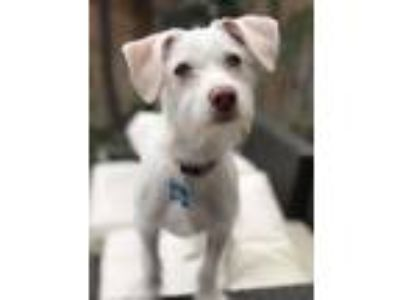 Adopt Henny a White Terrier (Unknown Type, Medium) / Mixed dog in Rancho Santa