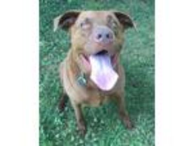 Adopt Harpua a Brown/Chocolate Labrador Retriever / Chesapeake Bay Retriever /