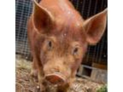 Adopt Ricky a Pig (Farm) farm-type animal in Asheville, NC (24547176)