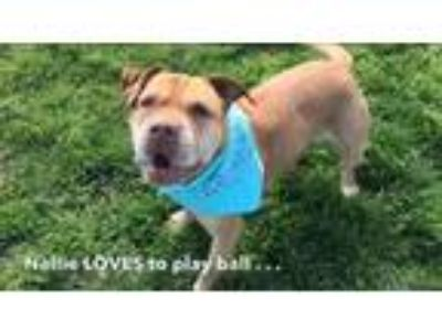 Adopt Nellie a Tan/Yellow/Fawn Shar Pei / Mixed dog in Columbia, MD (23652694)