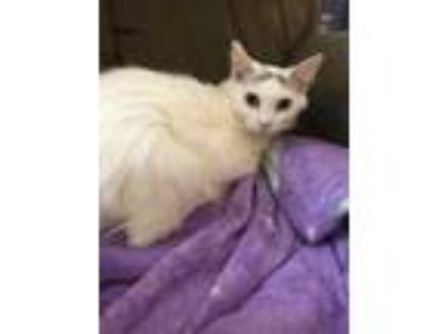 Adopt Kelly a White Domestic Mediumhair / Domestic Shorthair / Mixed cat in