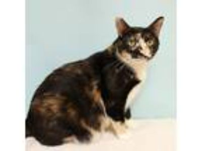 Adopt Olga a Calico or Dilute Calico Domestic Shorthair (short coat) cat in