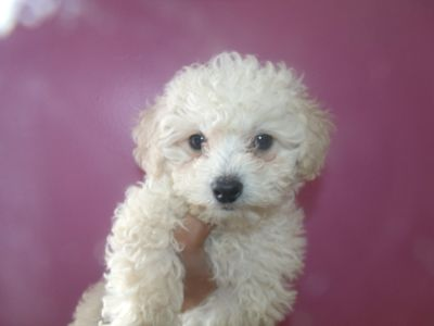 Shih Tzu-Poodle (Toy) Mix PUPPY FOR SALE ADN-71718 - titi