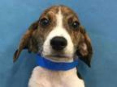 Coon Hound - Classifieds - Claz org