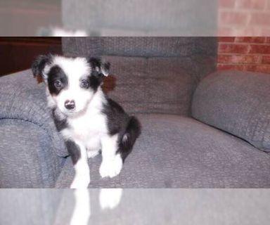 Border Collie PUPPY FOR SALE ADN-129967 - Border Collie puppies
