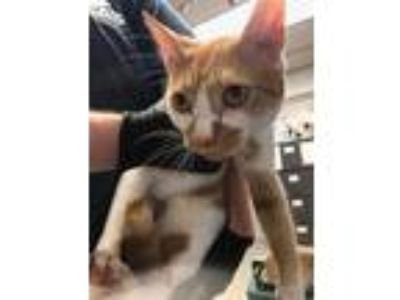 Adopt MALCOM a Orange or Red (Mostly) Domestic Shorthair / Mixed (short coat)