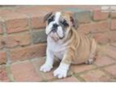 Bailey - English Bulldog