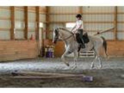 Adopt Vegas a Thoroughbred / Mixed horse in Quakertown, PA (22411272)