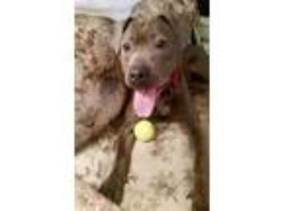 Adopt Kendella/Angel a Gray/Silver/Salt & Pepper - with White American Pit Bull
