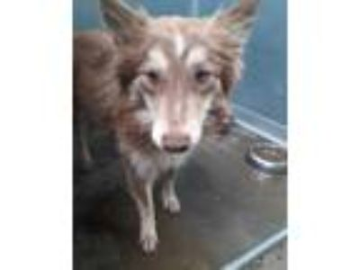 Adopt Abu a Brown/Chocolate Collie / Mixed dog in Selma, CA (25864367)