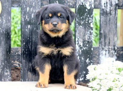 Rottweiler PUPPY FOR SALE ADN-79221 - Rottweiler Puppy for Sale
