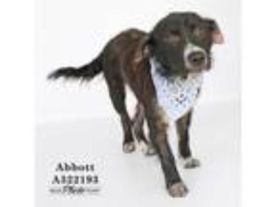 Adopt ABBOTT a Black - with White Border Collie / Mixed dog in Conroe