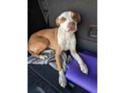 Adopt Yoshi a White - with Tan, Yellow or Fawn American Pit Bull Terrier /