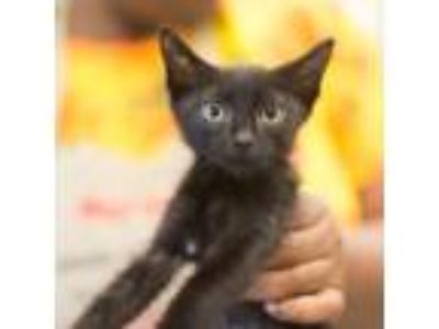 Adopt Wizard a All Black Domestic Longhair / Domestic Shorthair / Mixed cat in