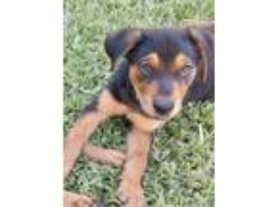 Adopt Boss a Black - with Tan, Yellow or Fawn Rottweiler / Shepherd (Unknown