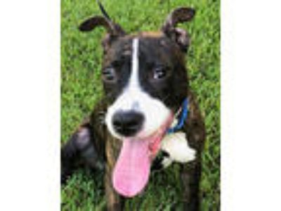 Adopt Millie a Pit Bull Terrier