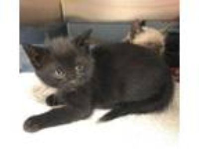 Adopt Zimba a All Black Domestic Shorthair / Domestic Shorthair / Mixed cat in