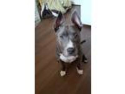 Adopt Stuart a Gray/Silver/Salt & Pepper - with White American Staffordshire