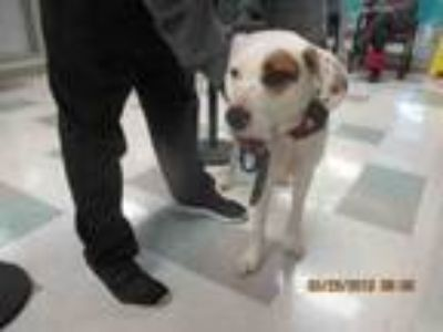 Adopt PATCHES a Anatolian Shepherd, Mixed Breed