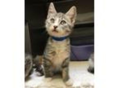 Adopt Rolly a Domestic Short Hair