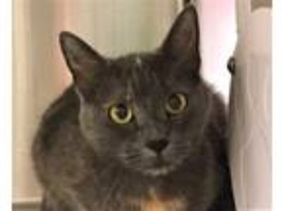 Adopt Marshmellow a Domestic Shorthair / Mixed cat in Sherwood, OR (25817212)